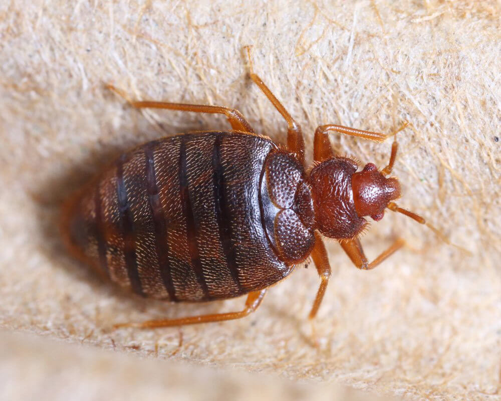 Closeup of bedbug from above