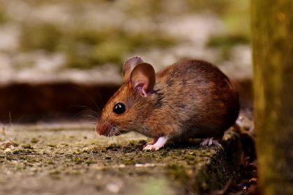 Wood mouse outside