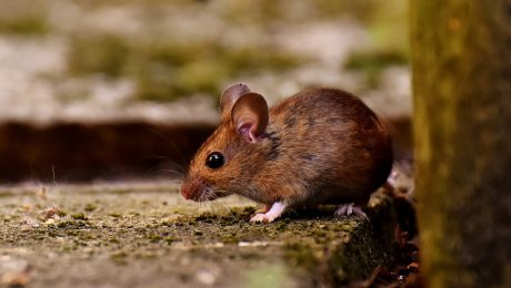 Wood mouse outside