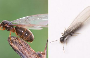 Swarming Termite vs Flying Ant identification