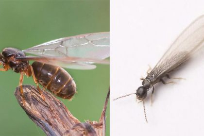 Swarming Termite vs Flying Ant identification