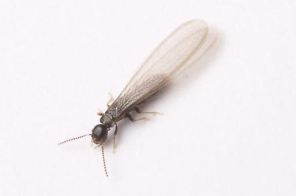 Swarming Termite